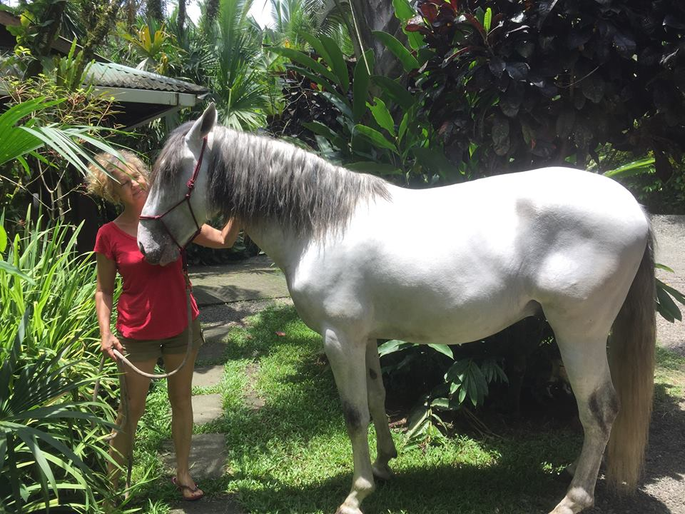 Magnus a big gentle soul Lusitano stallion from Portugal.