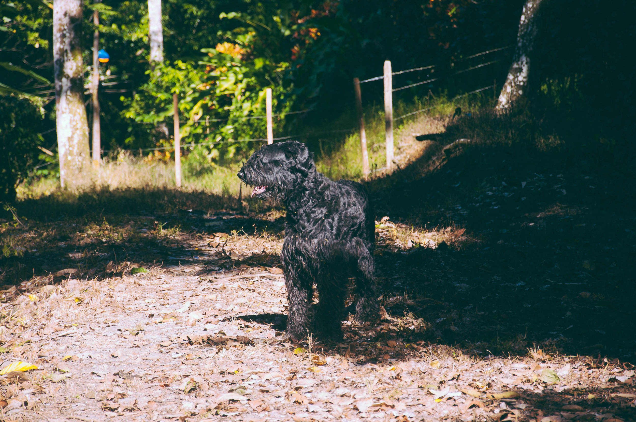 Big brother Felix (Giant Schnauzer) walked the whole perimeter of the 2 1/2 hectares, proclaiming his territory!