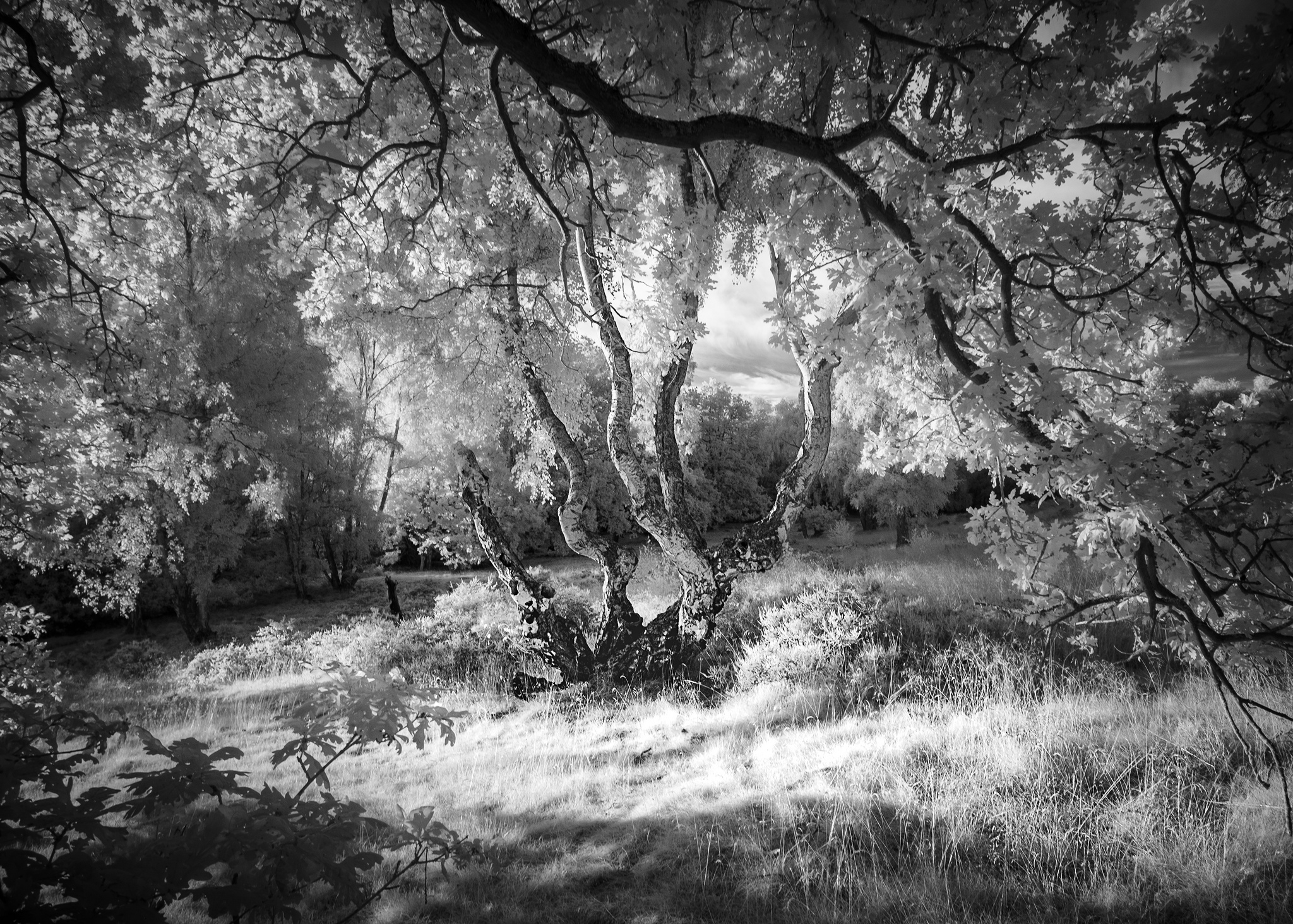 Silver Birches on Ampthill Heath. One of the images on display at The Pavilion.