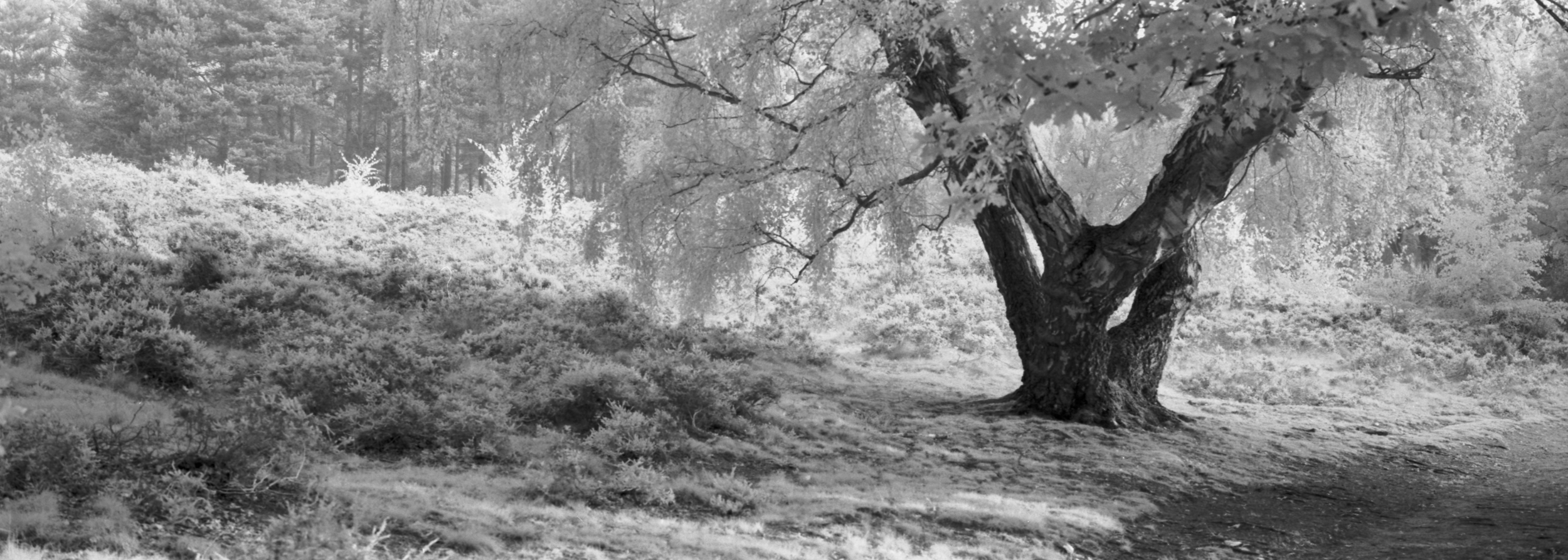 Ampthill Heath - XPan and Rollei Superpan 200 with IR Filter