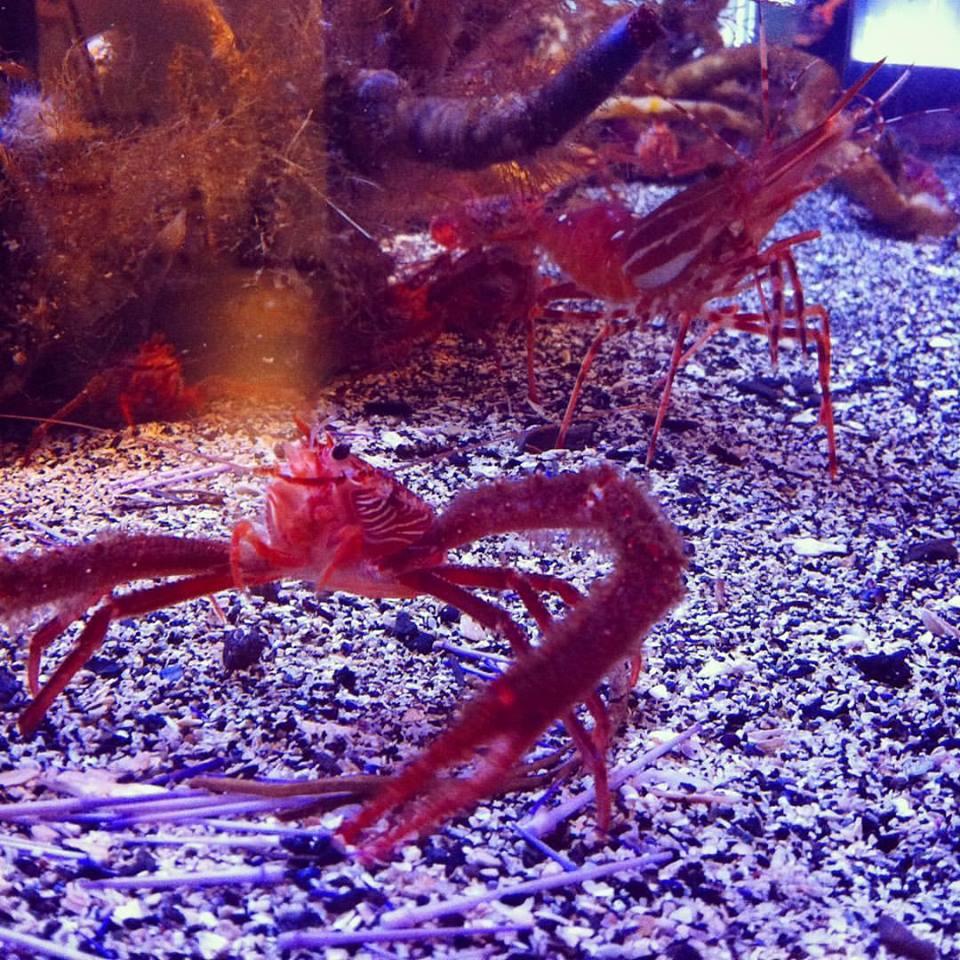 aquat lobsters.jpg