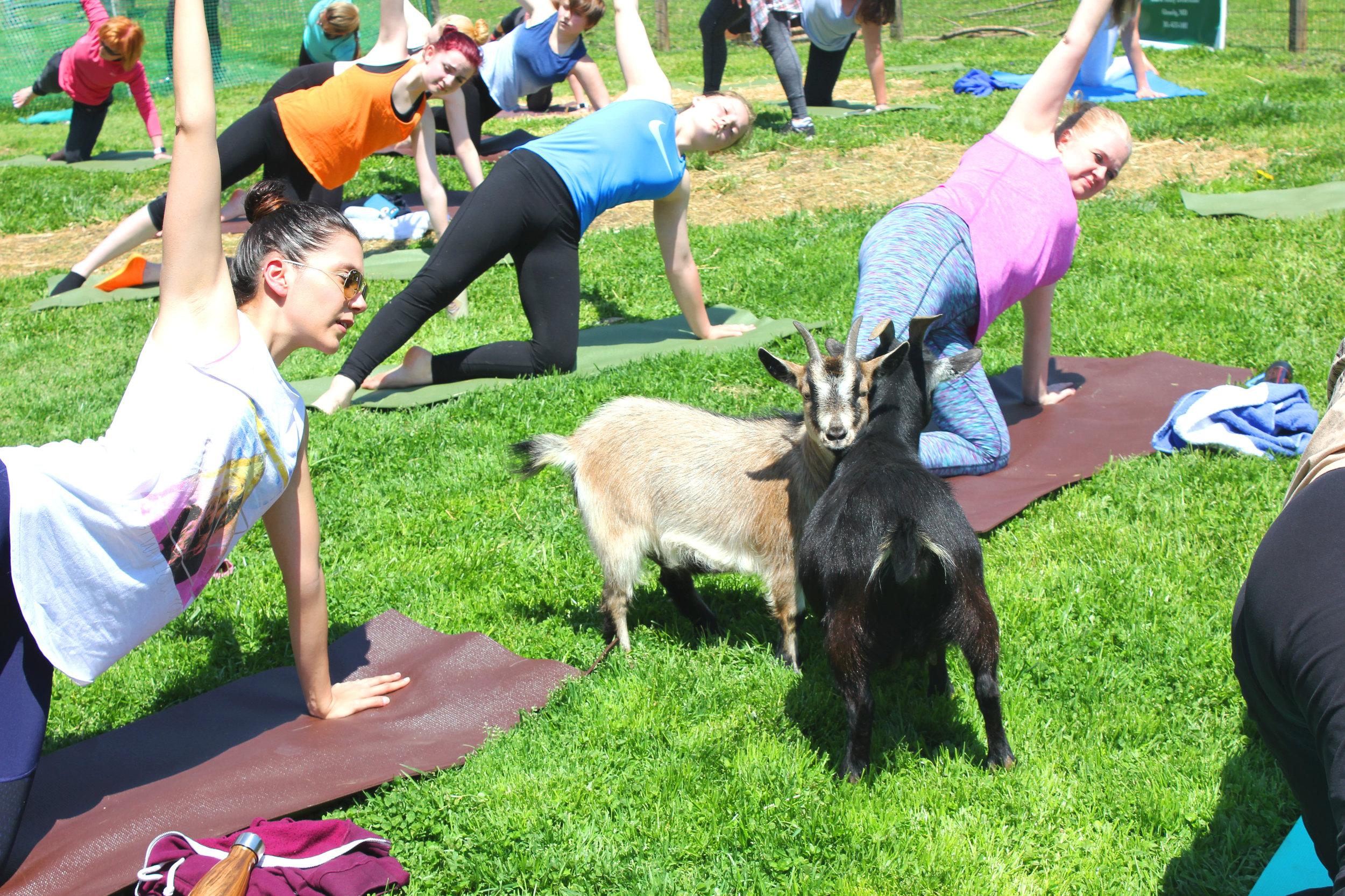 Emmas Daisy Hill Farm Goat Yoga By Elly Jane Blog.JPG