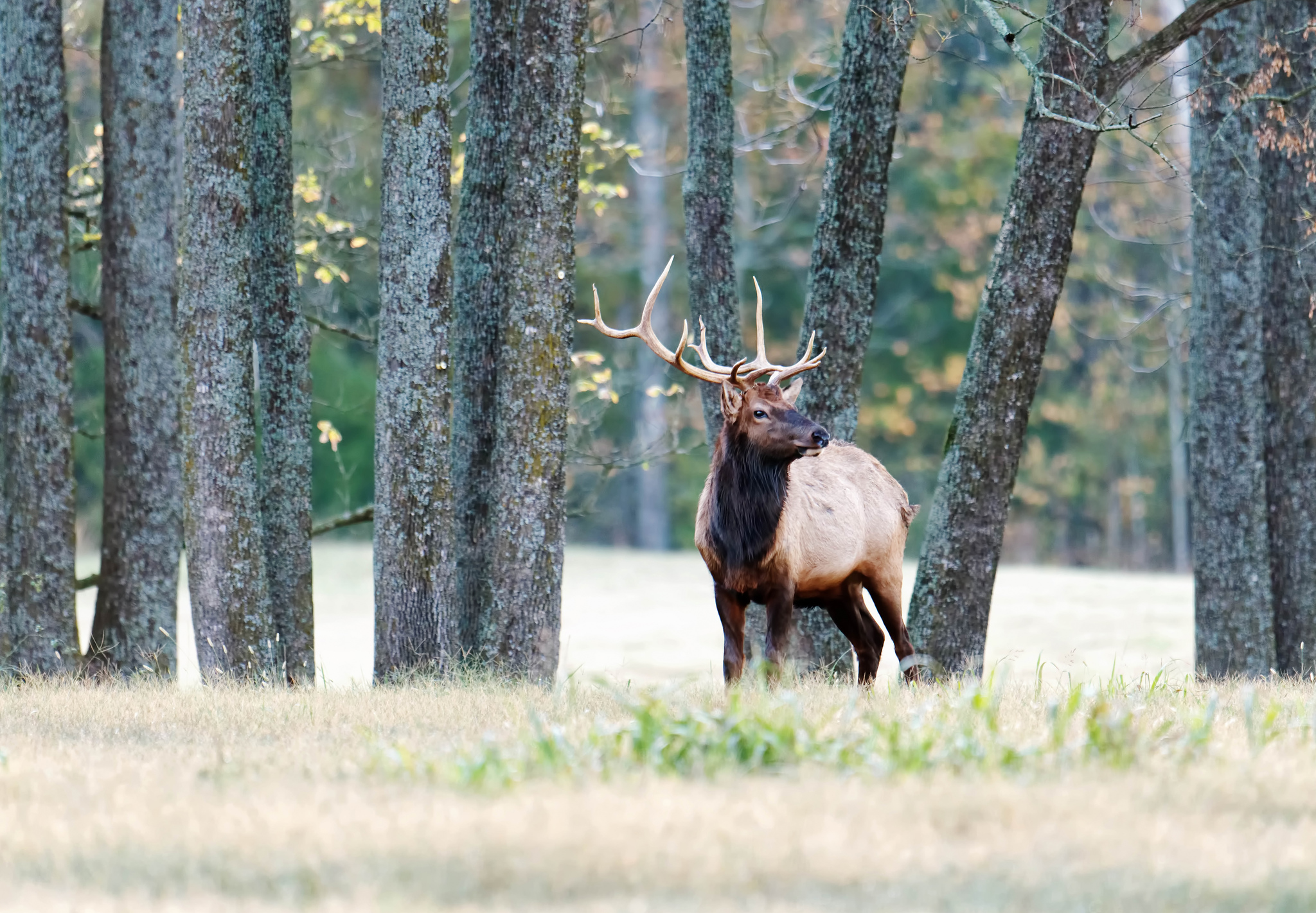 Elk Watching in Ponca and Boxley