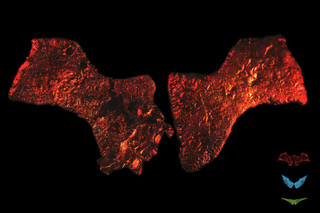 Pig Wings - The Chiropteran Version   Artists: The Tissue Culture & Art (Oron Catts, Ionat Zurr & Guy Ben-Ary)  Medium: Pig mesenchymal cells (bone marrow stem cells) and biodegradable/bioabsorbablepolymers (PGA, P4HB)
