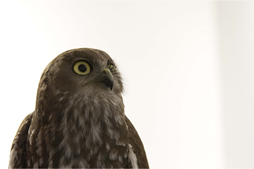 WA Birds of Prey Workshop , (2012), Spectrum Project Space, Yvonne Sitko, Oskar the Barking Owl. Photographer, Alexandra Engels.