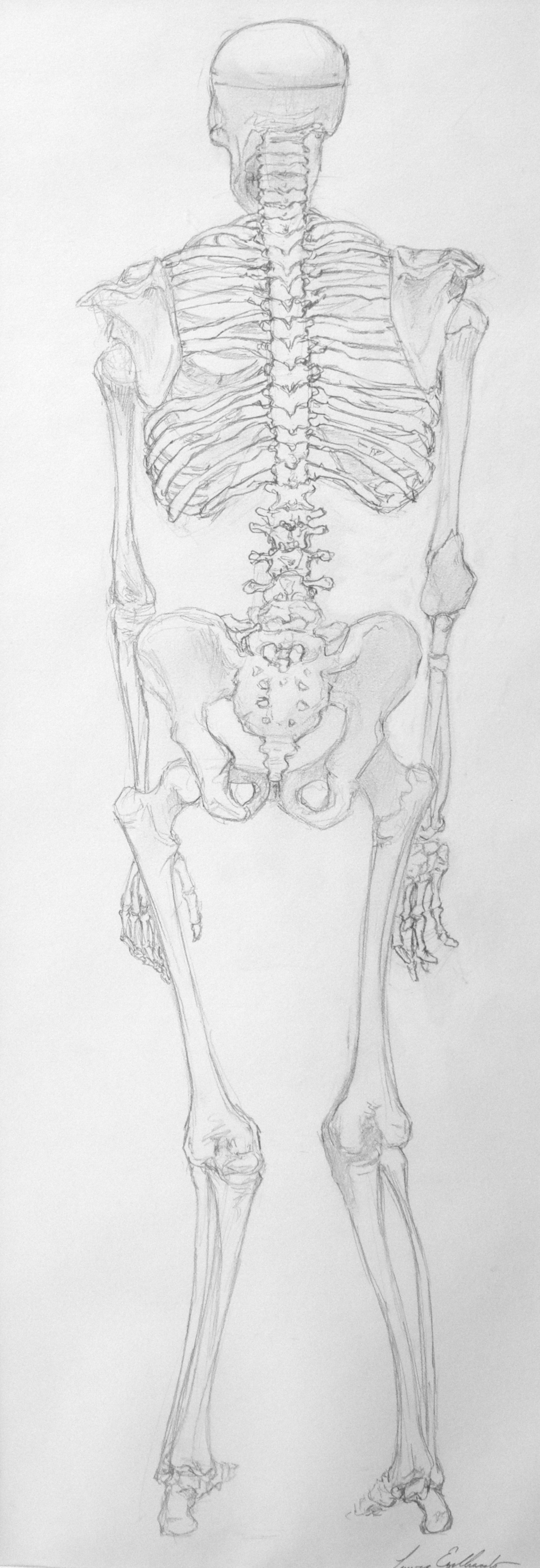 Skeleton Back Study