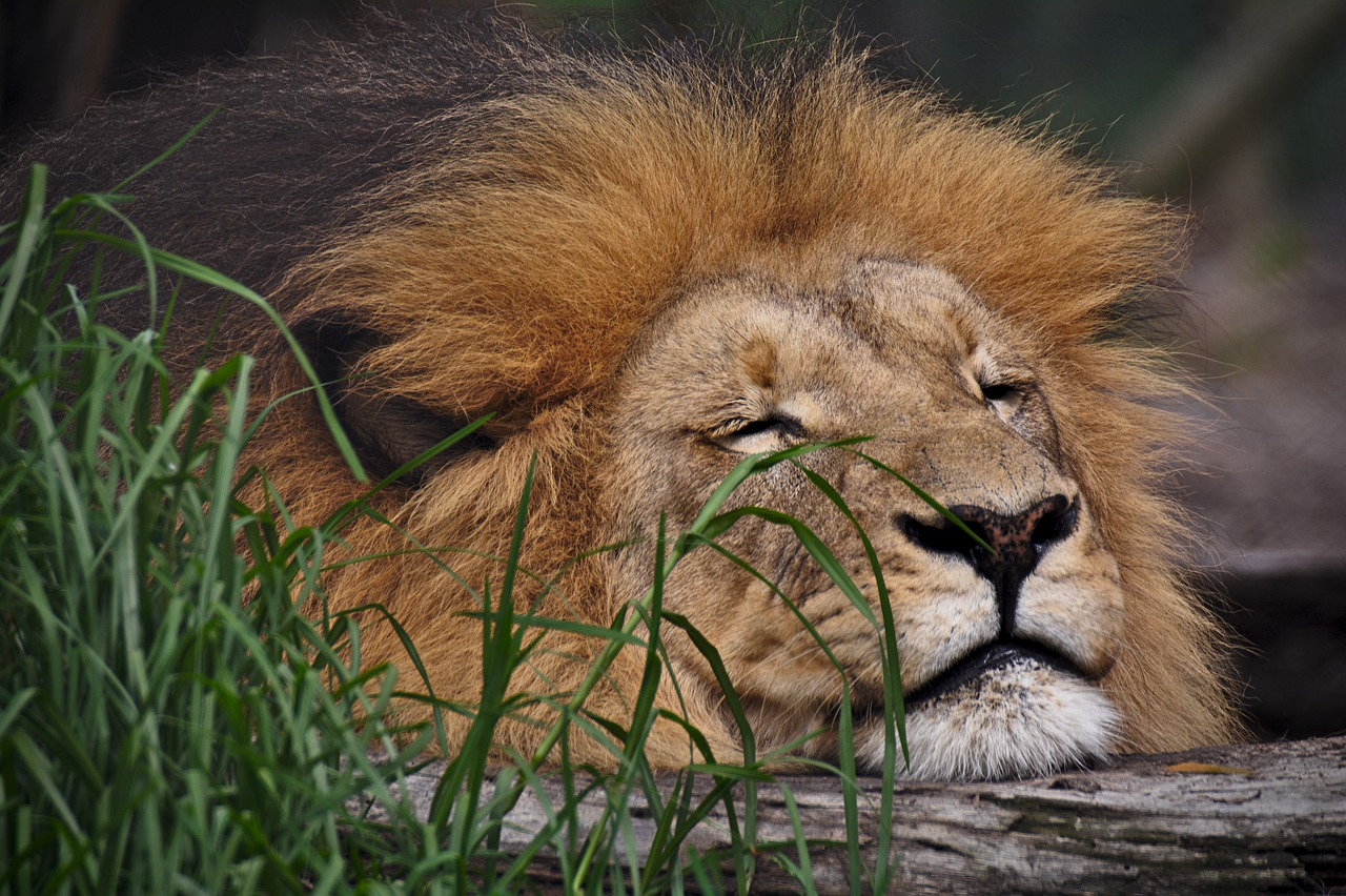 lion-3564964_1280.jpg