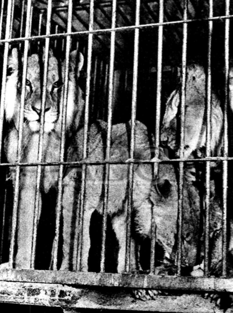 Los leones, menos la leona Ana, en la jaula tras el ataque. Fotografía:  ABC