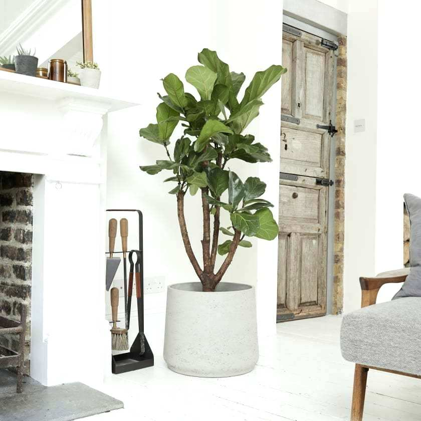 Fig tree, £240 from  Patch