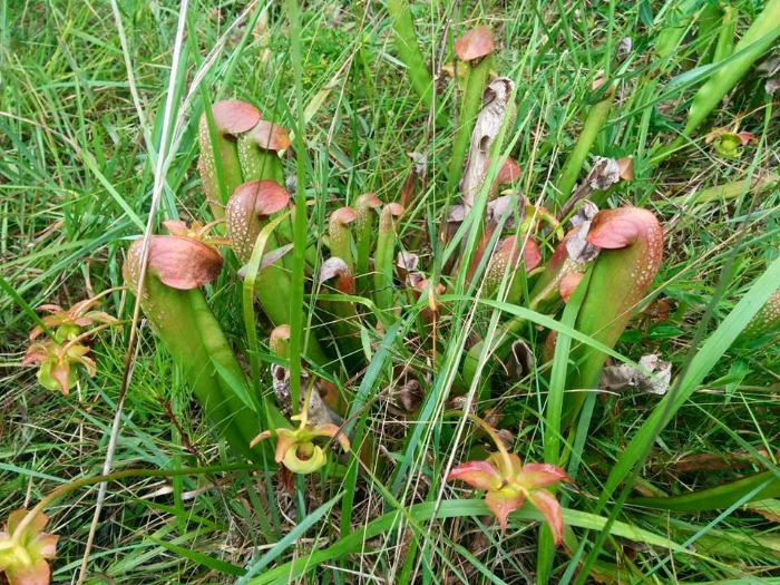 Sarracenia minor , found near Douglas, GA