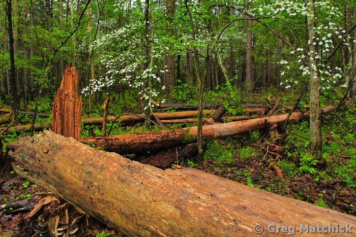 Dogwoods and Fallen Tree in the Forest at Hawn State Park