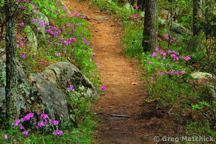 Wild Phlox Along the Trail 1 in the St. Francois Mountains