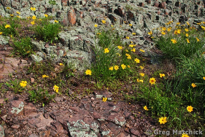 Wild Coreopsis on a Rhyolite Slope 1