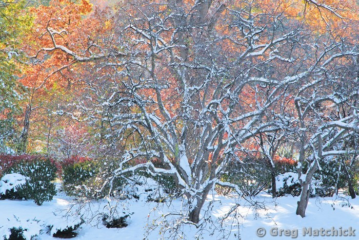 Tree Snow and Fall Colors In a Japanese Garden