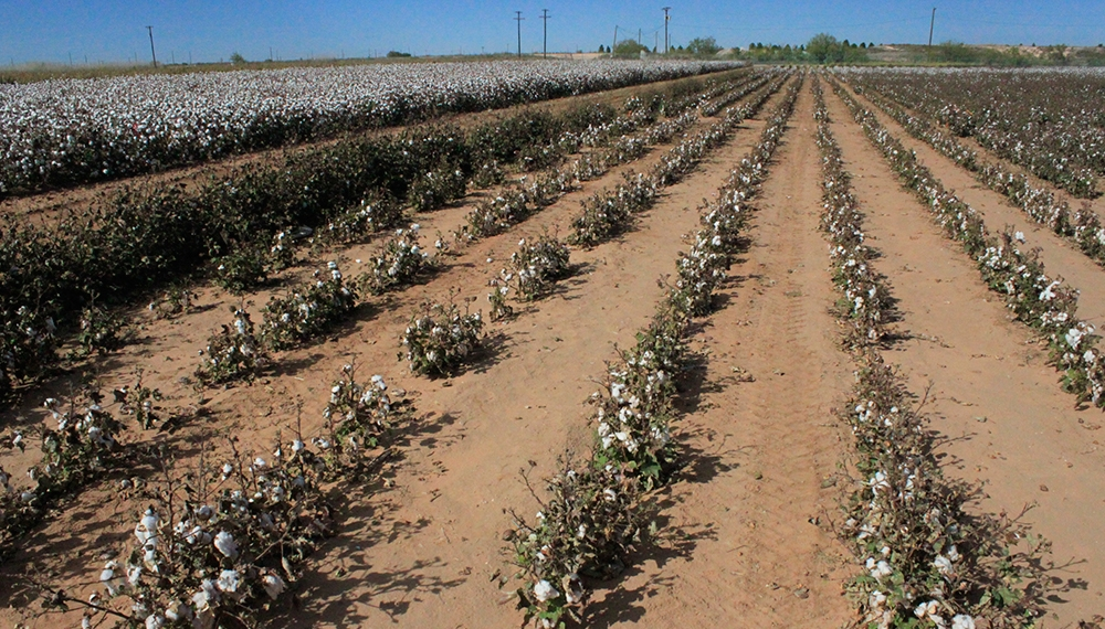 Two-cotton-crops-667.jpg