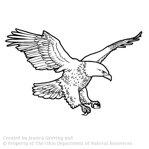 Bald-Eagle-bird_ODNR_Jessica-Greving_2017.jpg