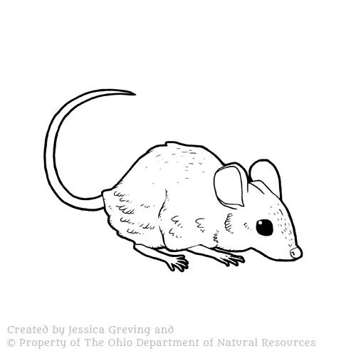 Deer-Mouse_ODNR_Jessica-Greving_2017.jpg