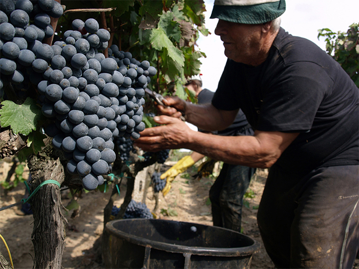 negroamaro grapes.jpg