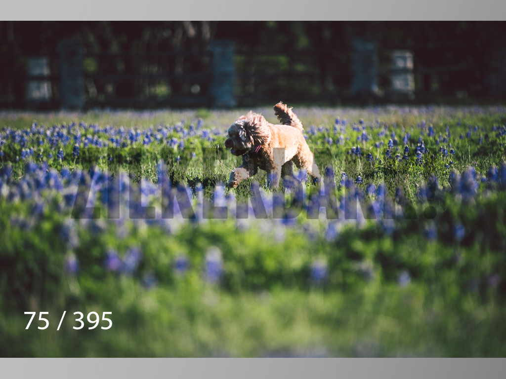 Bluebonnet wm-075.jpg