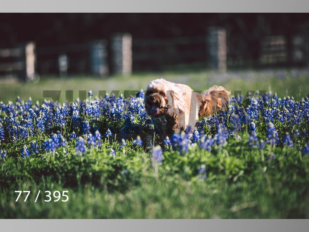 Bluebonnet wm-077.jpg