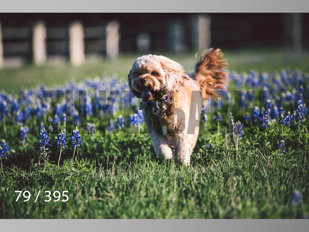 Bluebonnet wm-079.jpg