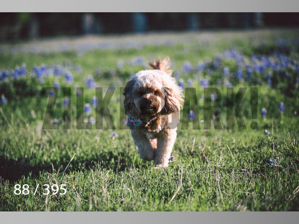 Bluebonnet wm-088.jpg
