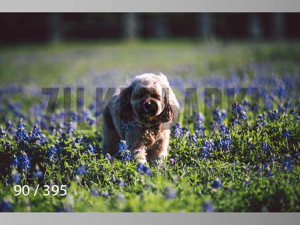 Bluebonnet wm-090.jpg