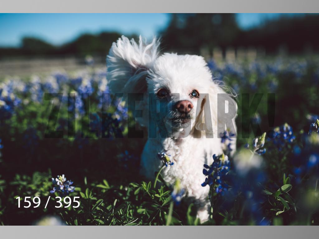 Bluebonnet wm-159.jpg