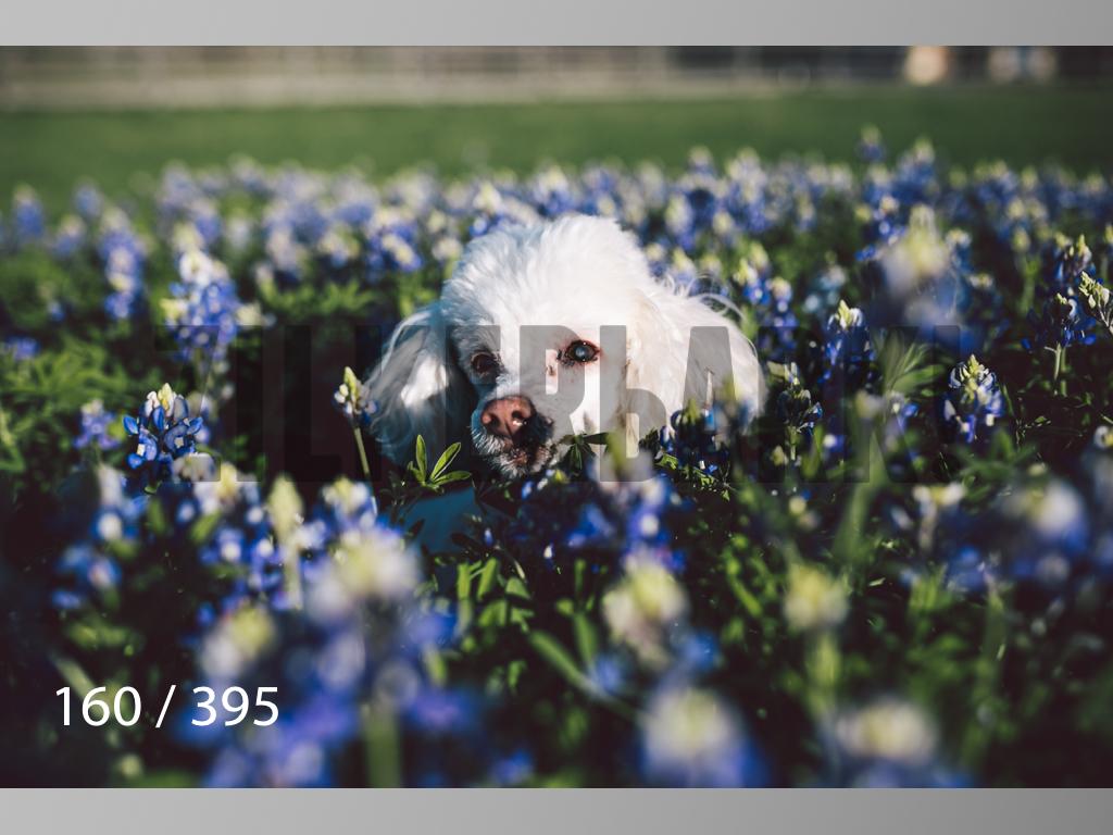 Bluebonnet wm-160.jpg