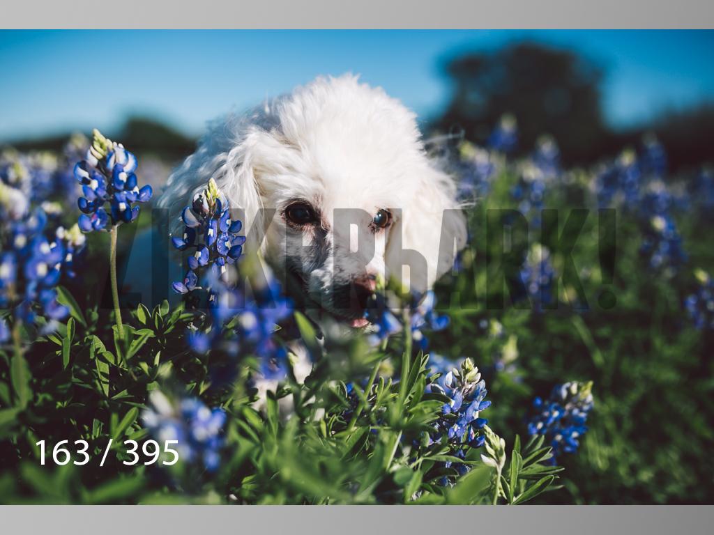 Bluebonnet wm-163.jpg