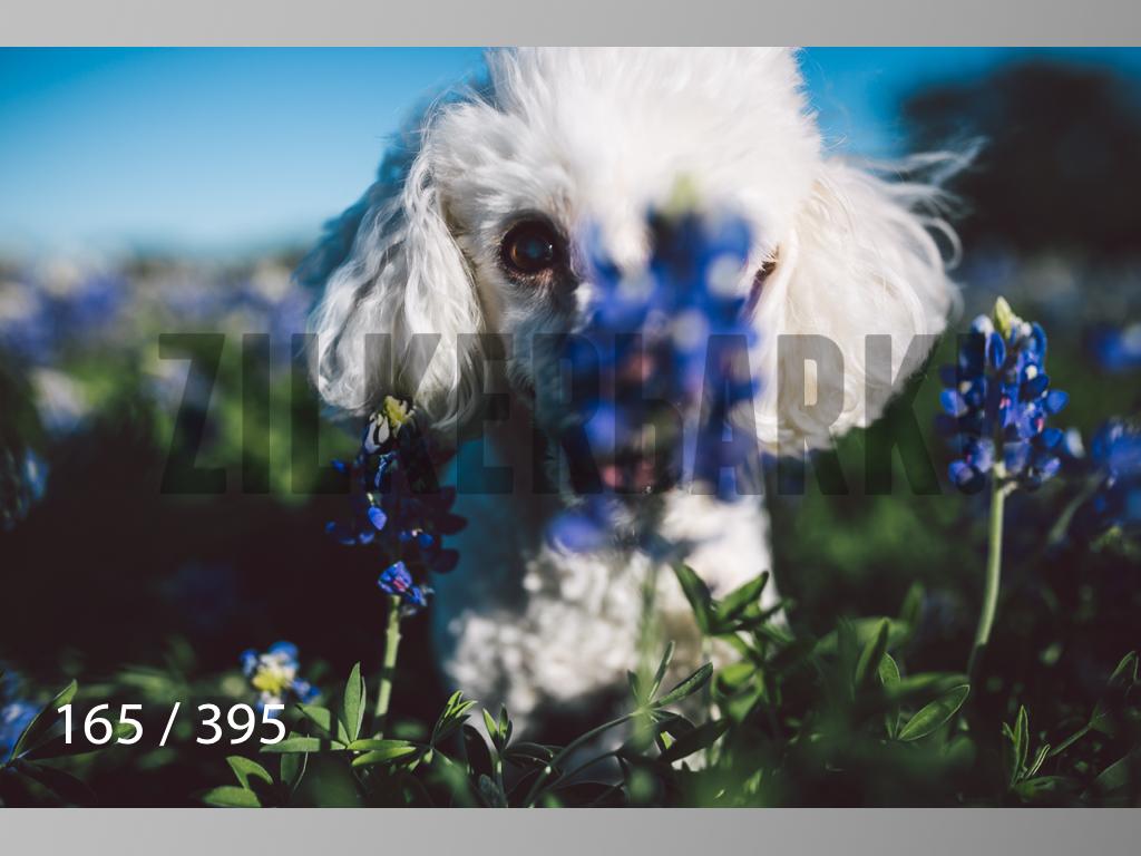 Bluebonnet wm-165.jpg