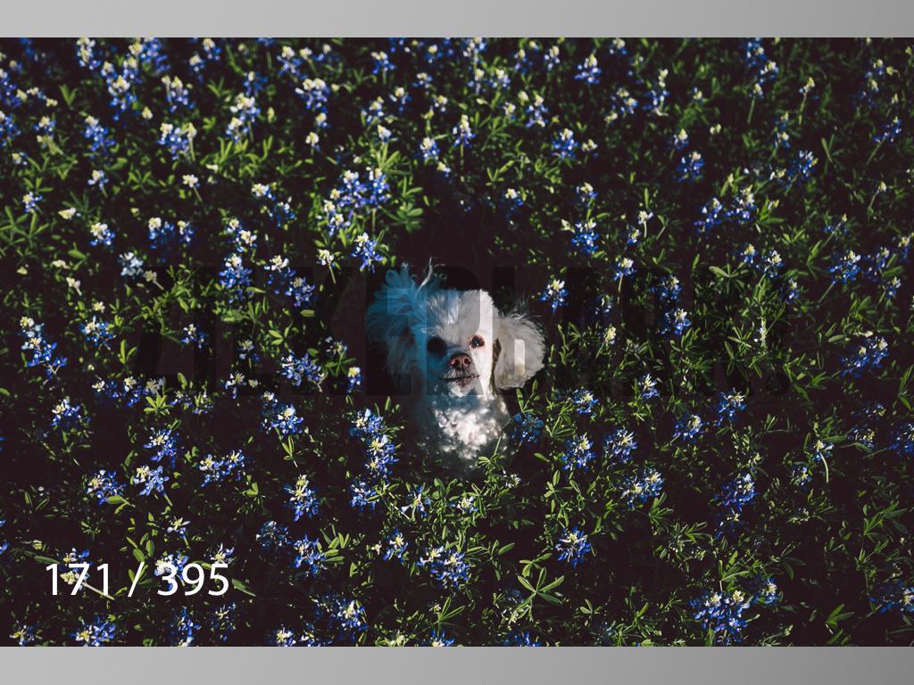 Bluebonnet wm-171.jpg