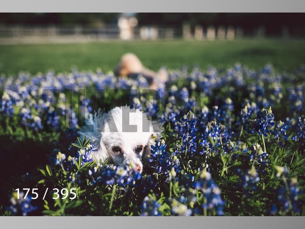 Bluebonnet wm-175.jpg