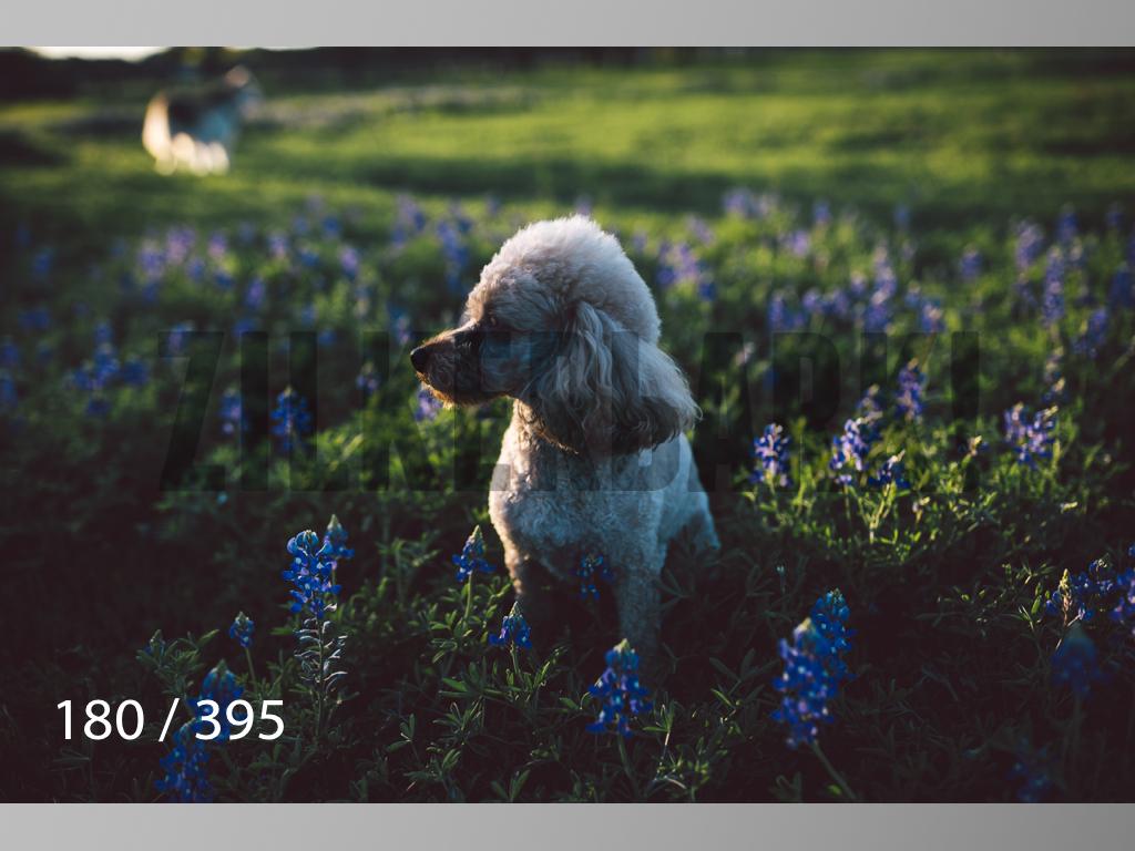 Bluebonnet wm-180.jpg