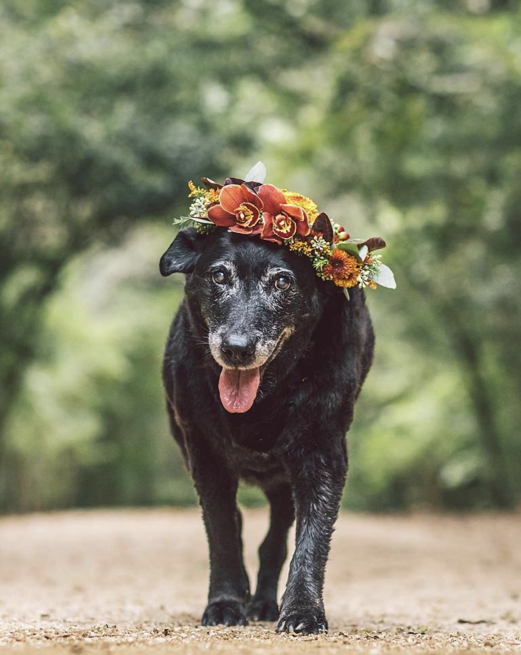 Our flower crown sessions officially began with Joe, the 18yr old Black Lab. Click this link to hear his story.