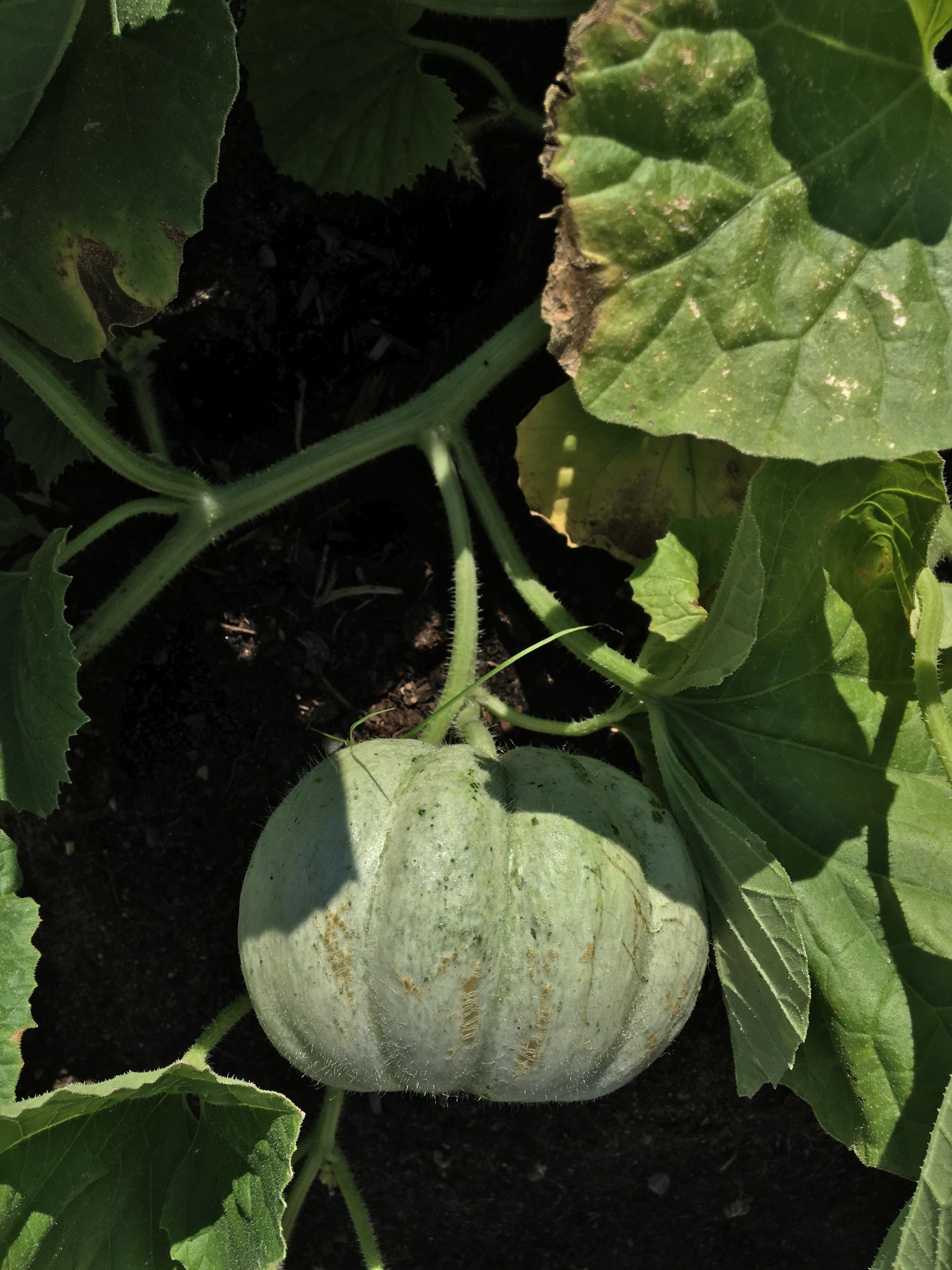 Prescott Fond Blanc Melon