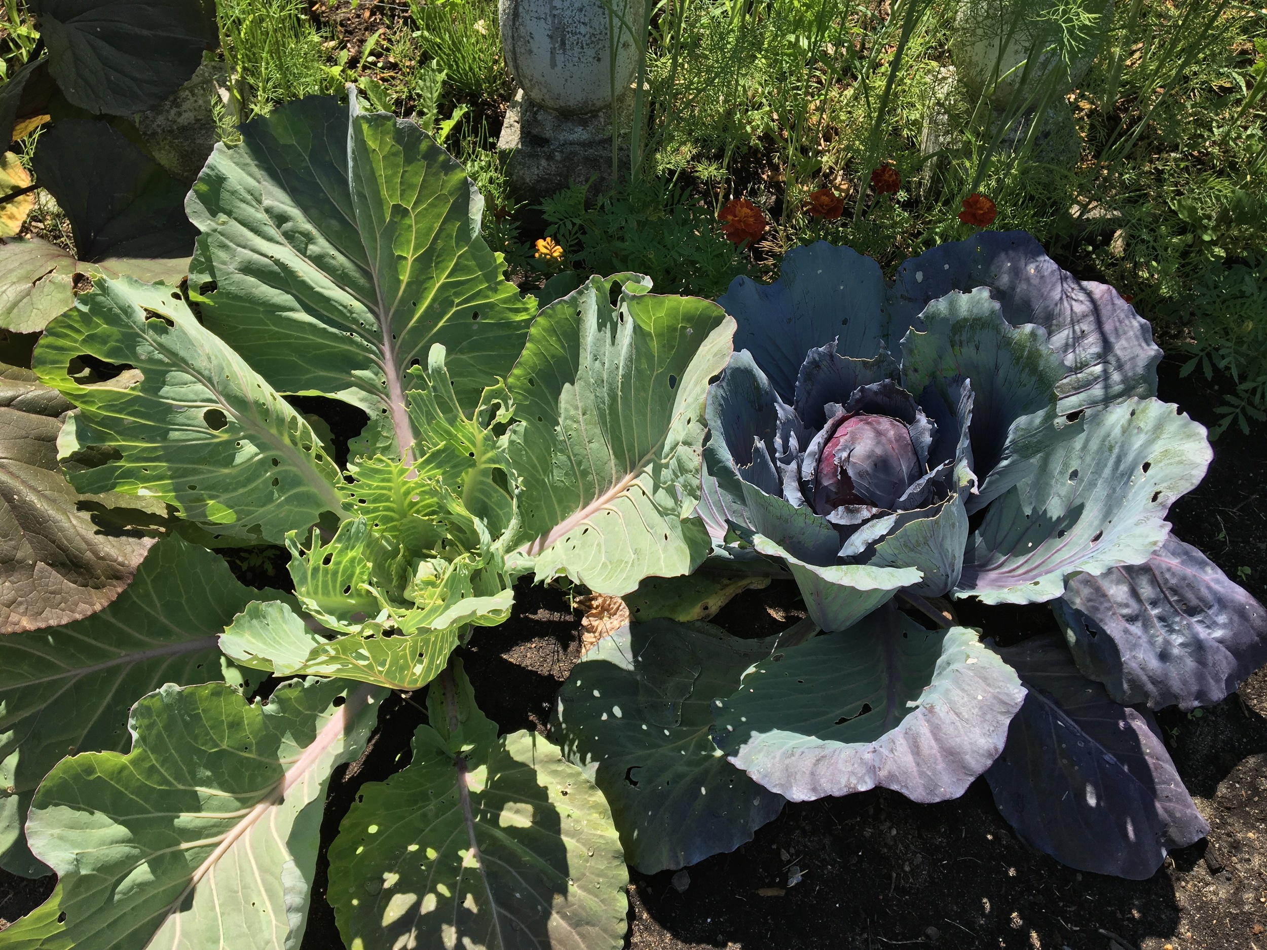 Brunswick Green and Danish Red Cabbage