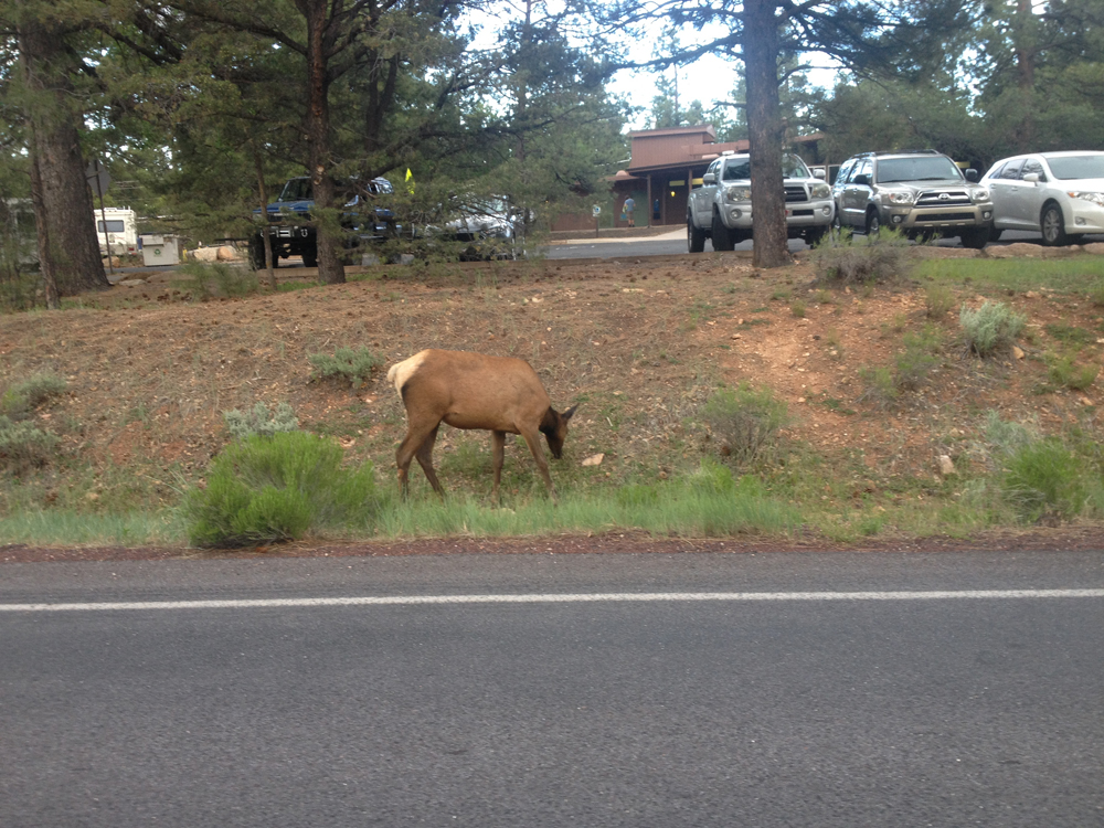 There were elk everywhere!