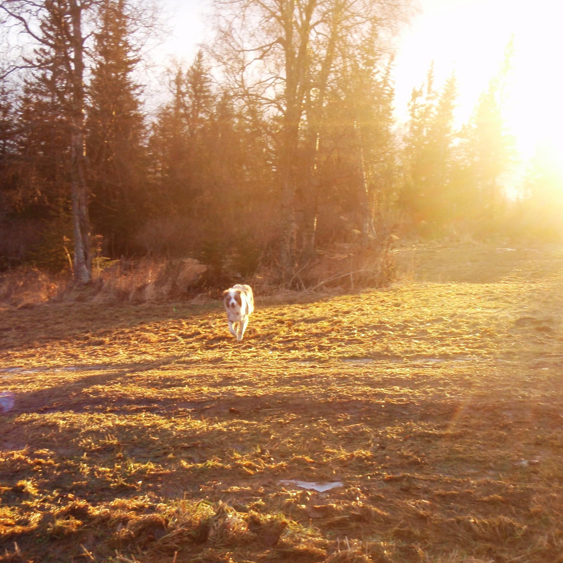 Australian Shepherd in the sunset in Alaska