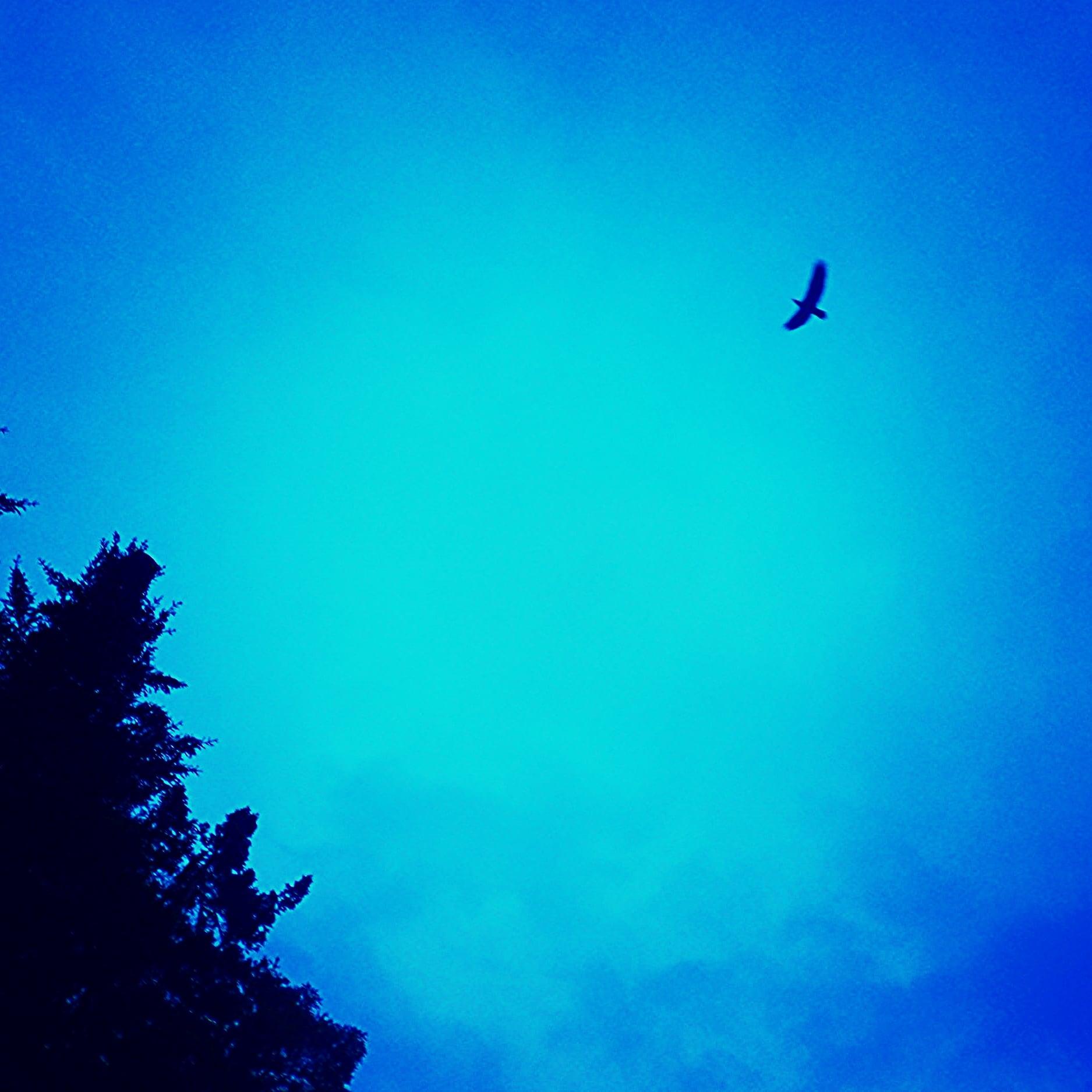 An eagle soars above Kachemak Bay Alaska