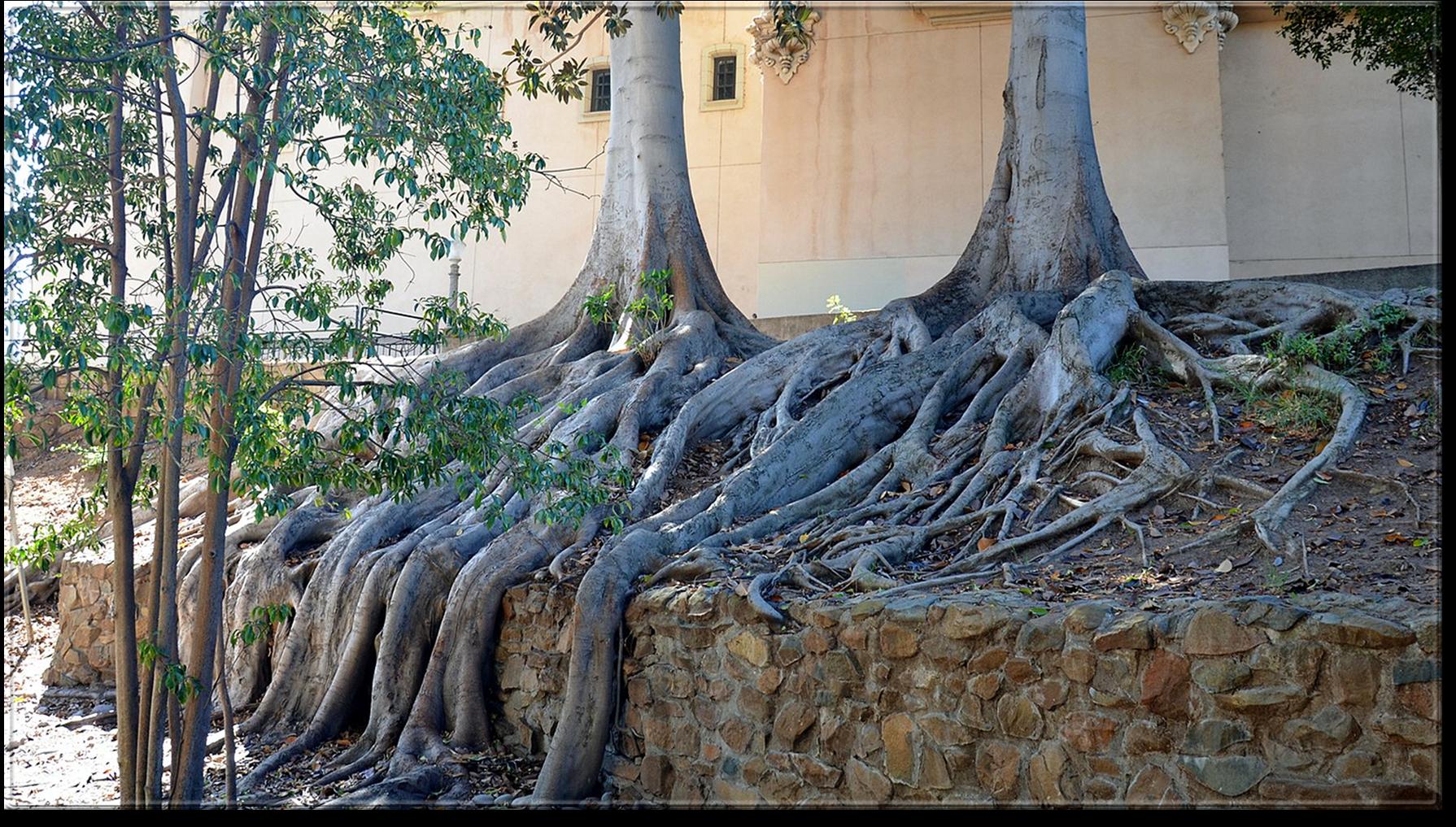 A tree in balboa park