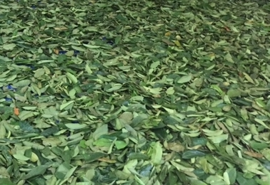 Pre-sorted leaves ready for drying