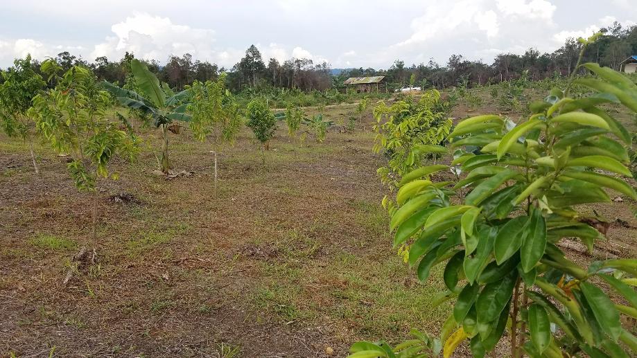 Guyabano plantation 2.png