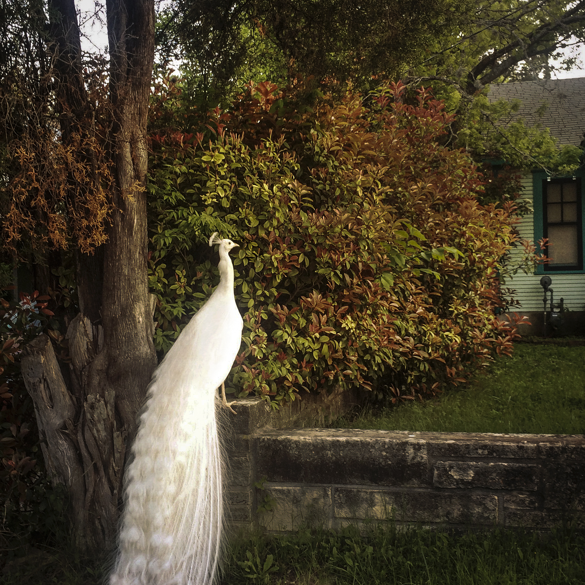 White Peacock, Live Oak Street, Austin, Texas, 2015