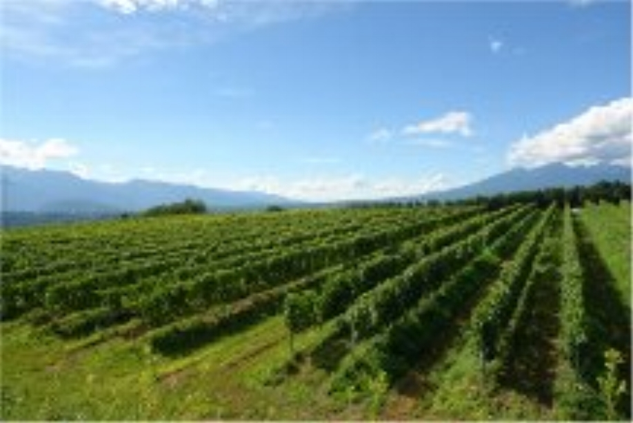 Vineyards of Grace