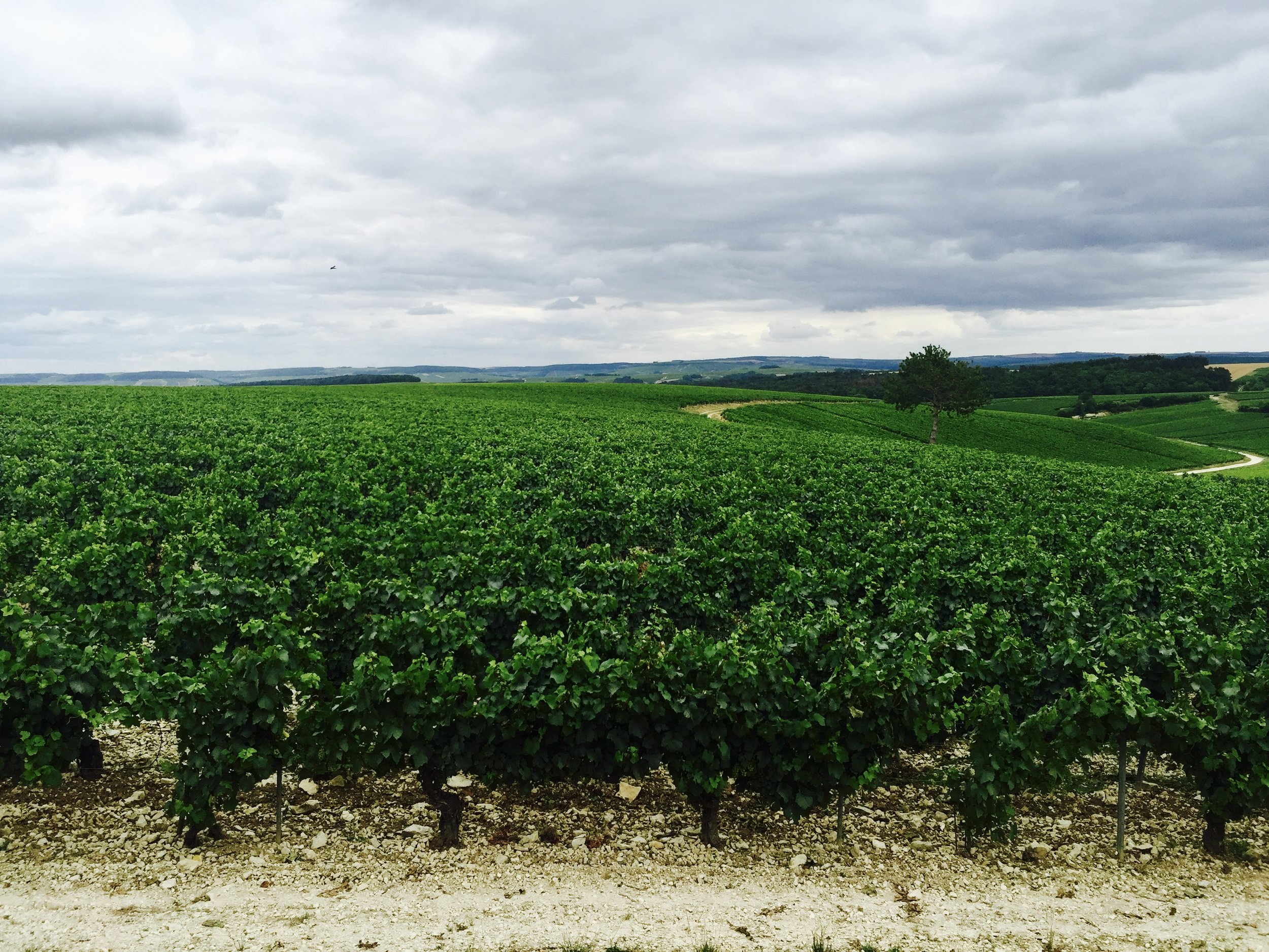 Vineyards around Jean-Marc Brocard estate. Grand Crus at the backdrop (Photo credit: Sumi_Sumilier)