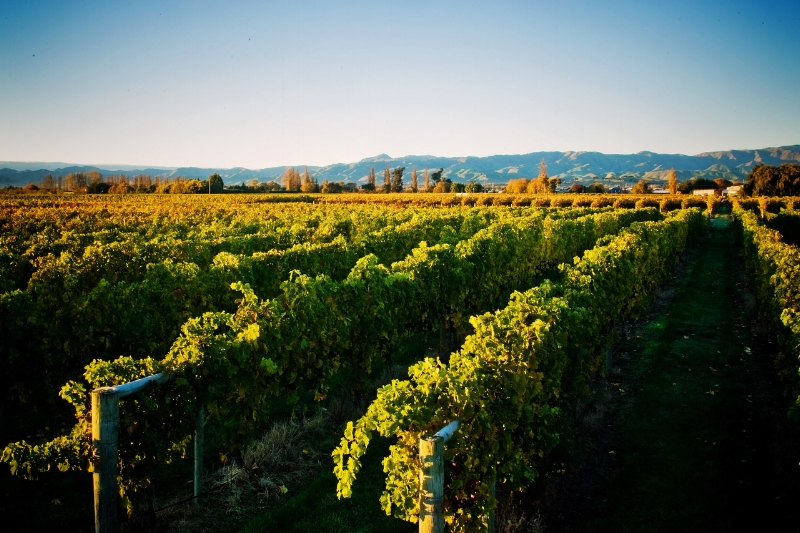 FORREST VINEYARDS IN NEW ZEALAND (Photo credits: Forrest wines)