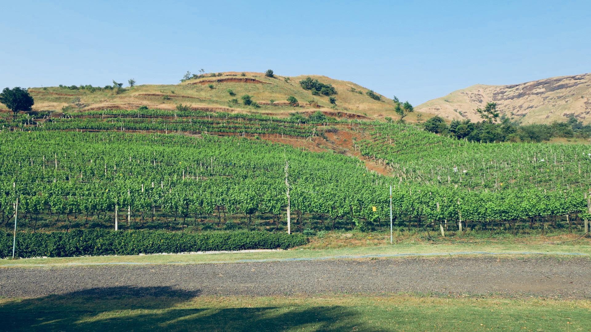 One Tree Hill vineyard at Igatpuri, Maharashtra (Photo credit: Sumita Sarma, Sumilier)