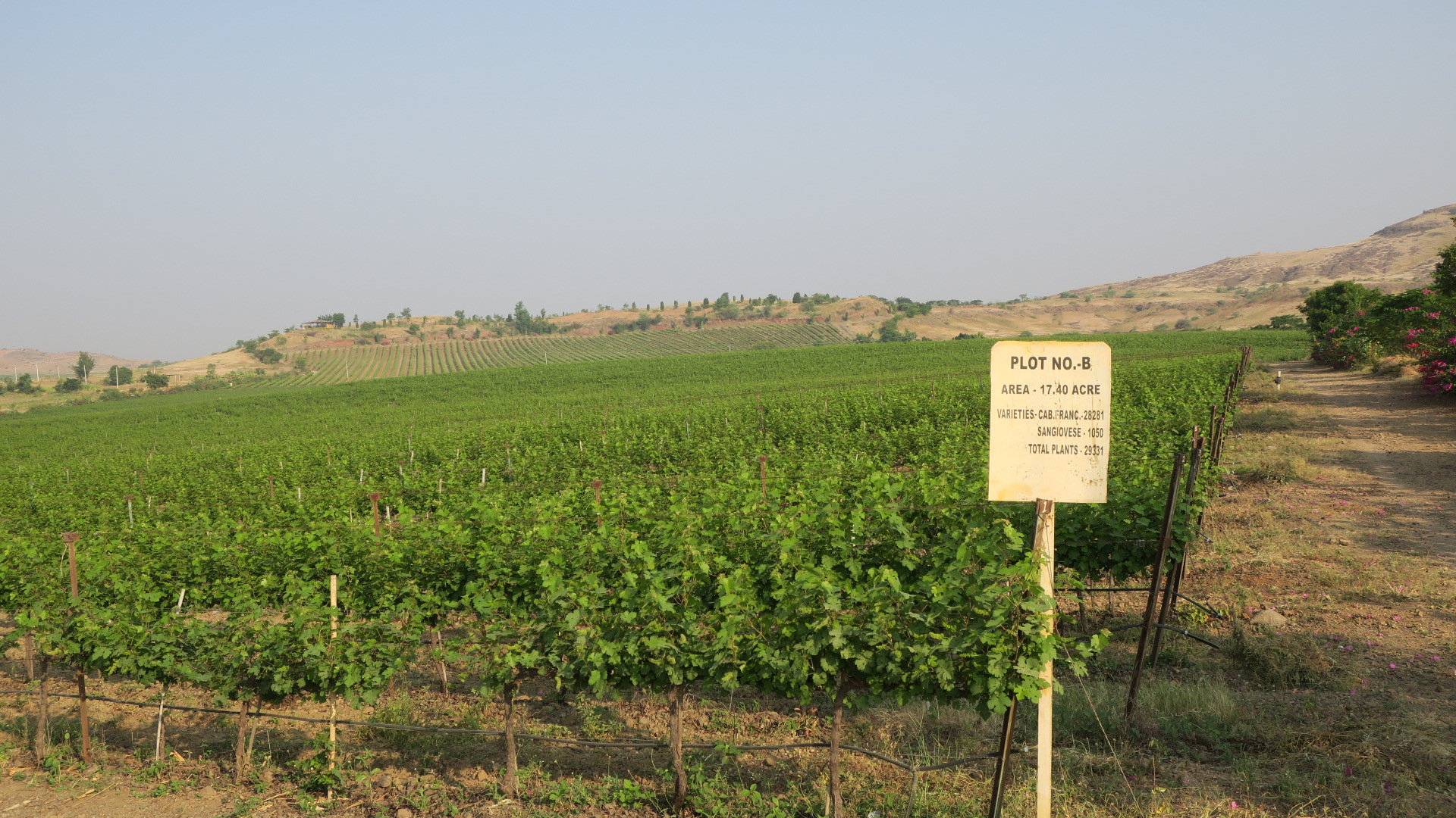 Garwad's Sangiovese and Cabernet Franc vines welcoming us as we enter the estate (Photo credit: Sumi Sarma)