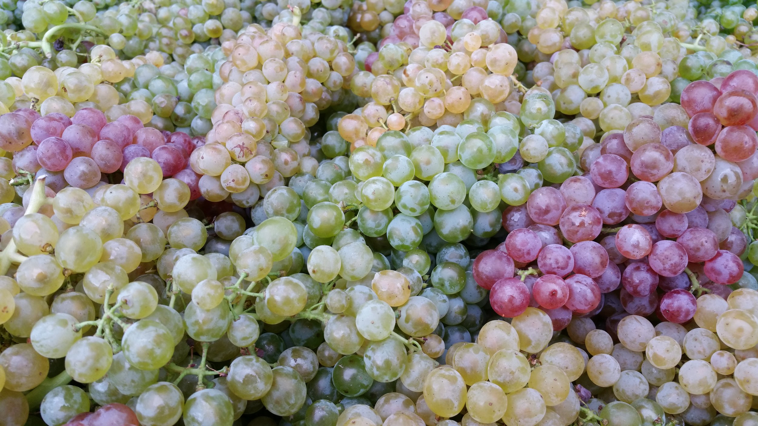 Lovely field blend of grapes (Photo credit: Groiss)